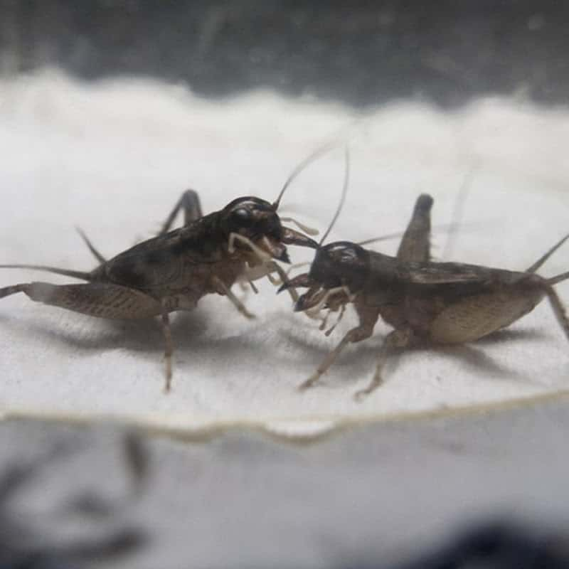 One of the unique facts about China is that cricket fighting is a pastime of the country's citizens