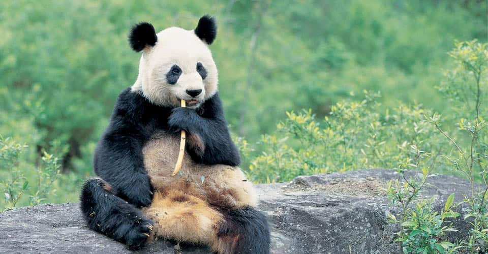 Panda bear sitting down for lunch